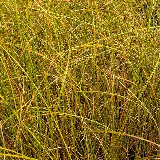 カレックス ディプセシア  Carex dipsacea