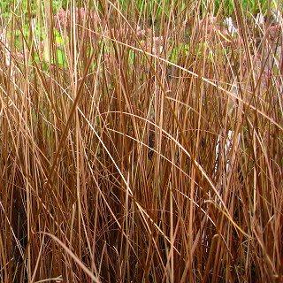 カレックス ブキャナニー  Carex buchananii