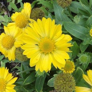 ゲーラーディア 'メサイエロー'  Gaillardia 'Mesa Yellow'