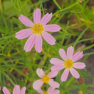 コレオプシス ロゼア 'アメリカンドリーム'  Coreopsis rosea 'American Dream'