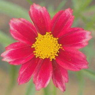 コレオプシス バーティシラータ 'マーキュリーライジング'  Coreopsis verticillata 'Mercury Rising'
