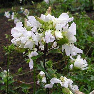 サポナリア オフィシナリス 'アルバプレナ'(ソープワート) Saponalia officinalis 'Alba Plena'