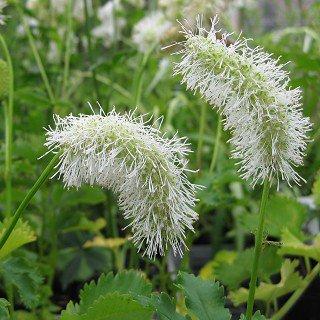 サンギソルバ アルビフローラ Sanguisorba albiflora