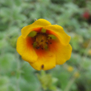 ポテンチラ アトロサンギネア 'アルジロフィラ' Potentilla argyrophylla var. atrosanguinea