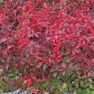 ツタ アメリカヅタ 'バージニアクリーパー' Parthenocissus quinquefolia 'Virginia creeper'