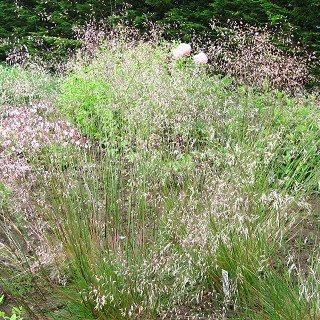 デスカンプシア フレクシオーサ Deschampsia flexuosa