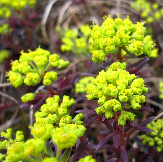 ユーホルビア 'クラリスハワード' Euphorbia cyparissias 'Clarice Howard'