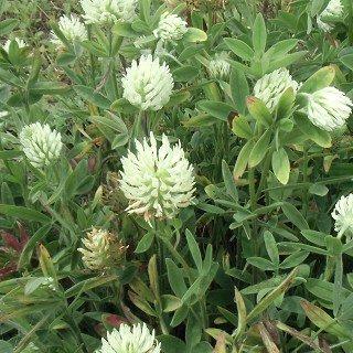 トリフォリウム オクロレウカム Trifolium ochroleucum