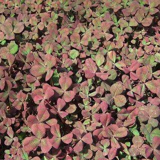 トリフォリウム レペンス 'ウィートフェン Trifolium repens 'Wheatfen'