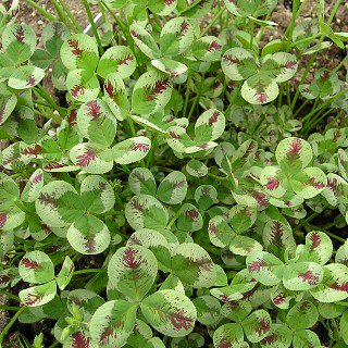 トリフォリウム レペンス 'ドラゴンズブラッド' Trifolium repens 'Dragon's Blood'