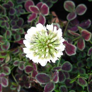 トリフォリウム レペンス アトロプルプレウム Trifolium repens 'Atropurpureum'