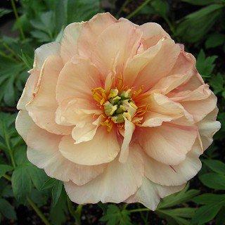 ピオニア イトー 'カナリーブリリアント' Paeonia x ITOH 'Canary Brilliants'