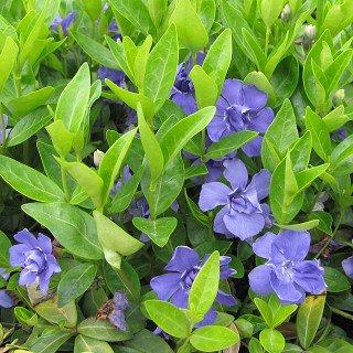 ビンカ ミノール 'ダブルパープル' (ビンカ ミノール ダブルフラワー)Vinca minor 'Double Purple'