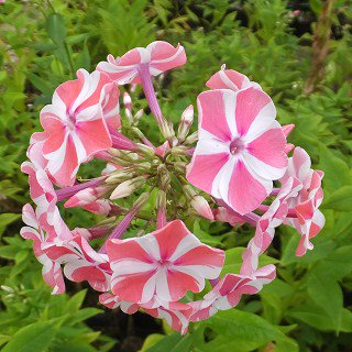 フロックス 'ペパーミントツイスト' Phlox paniculata 'Peppermint Twist'