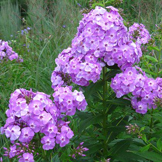 フロックス パニキュラータ 'デイビットラベンダー' Phlox paniculata 'David Lavender'
