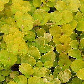 リシマキア ヌンムラリア 'オーレア' Lysimachia nummularia 'Aurea'