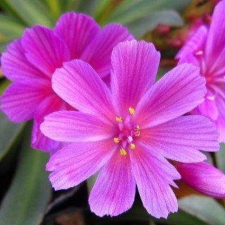 レウシア 'リトルラズベリー' Lewisia longipetala 'Little Raspberry'