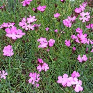 ダイアンサス カシュジアノーラム  Dianthus carthusianorum