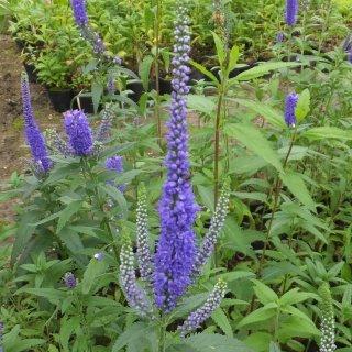ベロニカ 'ブルーリーゼン'  Veronica longifolia 'Blauriesin'