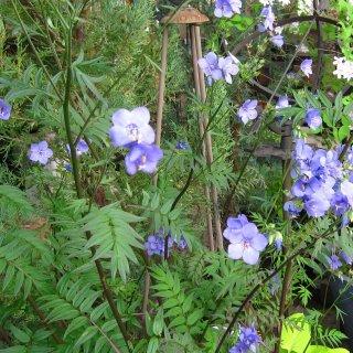 ポルモニウム 'パープルレイン'  Polemonium 'Purple Rain'