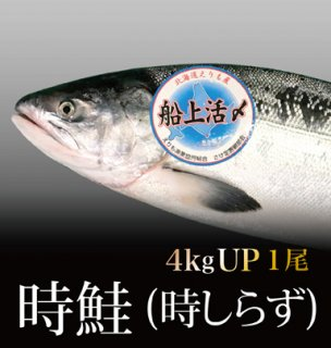 時鮭 (時しらず) 4kg以上 1尾