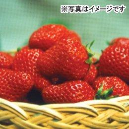 【冷蔵】特別栽培いちご