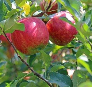平井さんの葉とらずりんご3kg 48001 【送料込み】