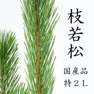 [12月10日頃より発送]枝若松 2L 特級品 120cm前後 1本