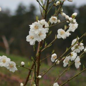 [2月20日ごろから出荷][生花] 白桃1.2m 1把(5〜8本)