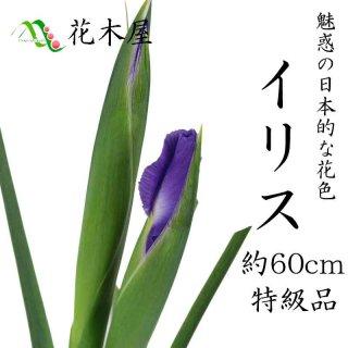 【1月20日からの出荷】イリス アイリス 70cm〜50cm 1本より ひな祭り 雛祭り ひなまつり 紫 花材 桃の節句 生花 花