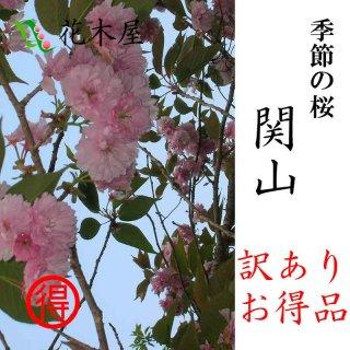 [季節の桜][発送は4月中旬より][訳あり] 関山 高さ1m〜0.6m 小枝 1束 10本程度 切花