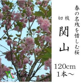 [4月中旬からの発送です]八重桜 関山 約1.15m 1本より御利用可