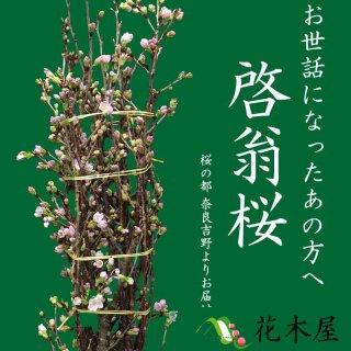[12月20日以降発送分] 啓翁桜 高さ 約1.15m 1本 生花