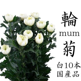 菊の花 一輪菊 白 70〜80センチ 10本 切花 生花