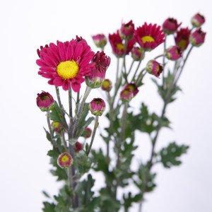 小菊 赤 60〜75センチ 1本 切花 生花