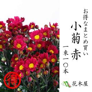 小菊 赤 60〜75センチ 10本 切花 生花