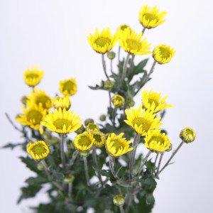 小菊 黄 60〜75センチ 1本 切花 生花
