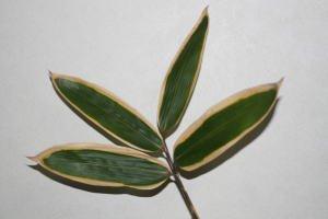 [12月10日〜30日頃お届け]クマザサ 笹の葉 大 1枚より 生花