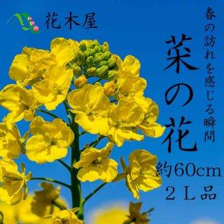 春はもうすぐ! 菜の花 ナタネ Lサイズ 70cm〜50cm 1本より ひな祭り ひなまつり 飾り 生花 春 黄 添え花