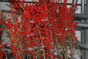 [10月上旬より発送予定] 梅もどき 赤 120cm程度 1本