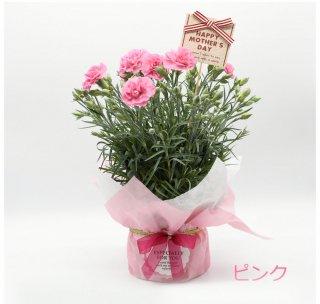 花木屋 カーネーション ピンク 鉢植え 5号 赤 母の日 プレゼント