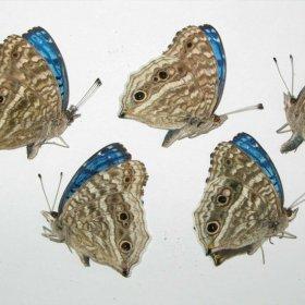 小さな青い蝶