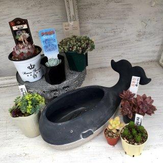 [4] クジラ鉢(ブラック)&吉坂包装苗など多肉セット