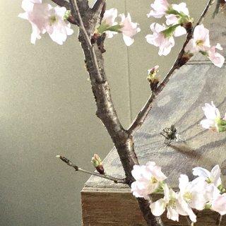桜-さくら-のピアス -cherry blossom pierce- (silver925・シルバー)