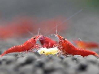 【国産】極火蝦 レッドファイヤーシュリンプ