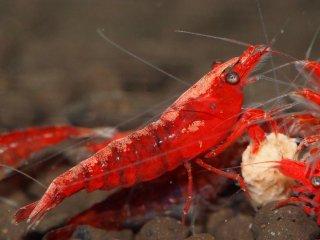 【国産】極火蝦 赤濃 バックラインタイプ