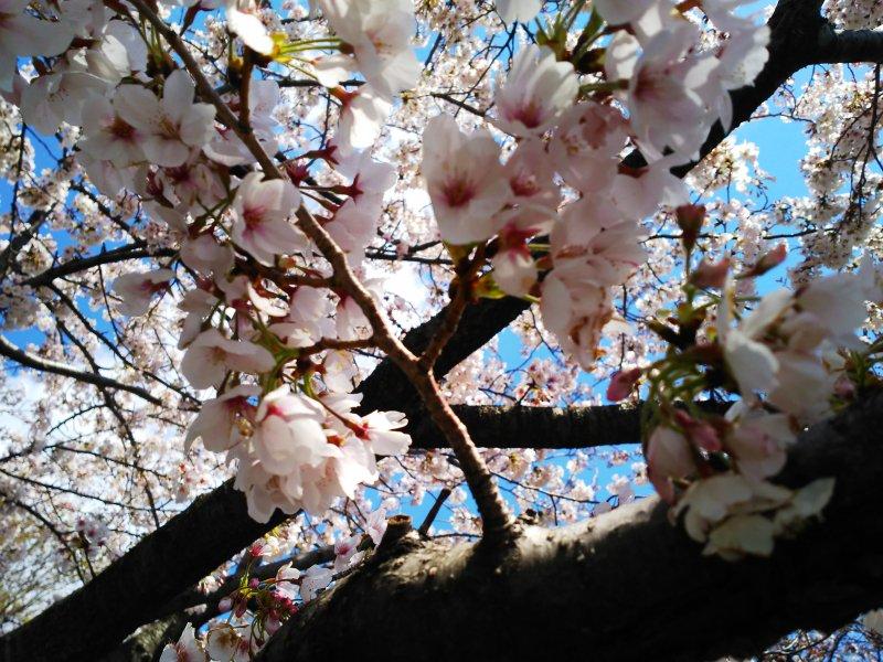 お花見【画像1】