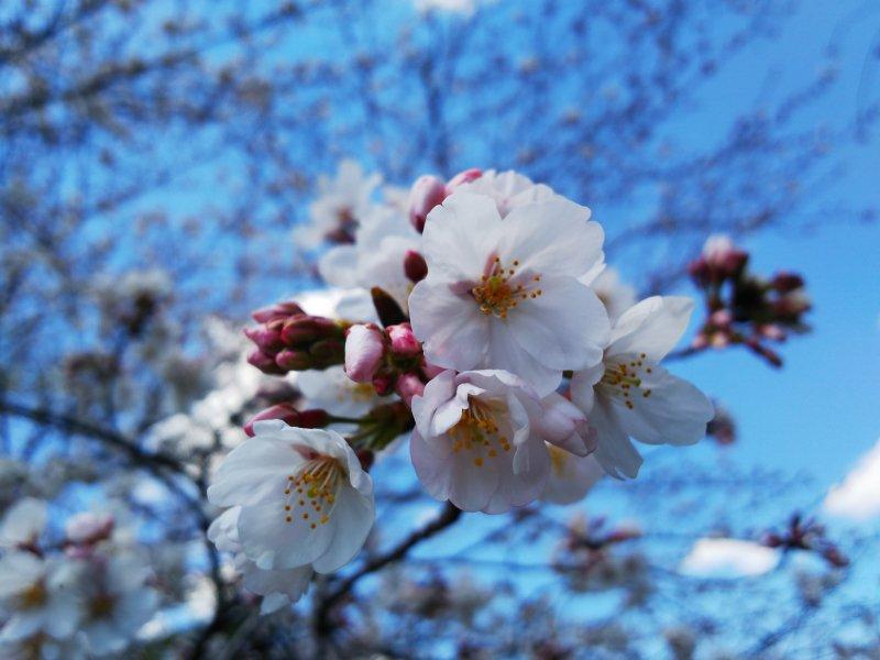 お花見【画像2】