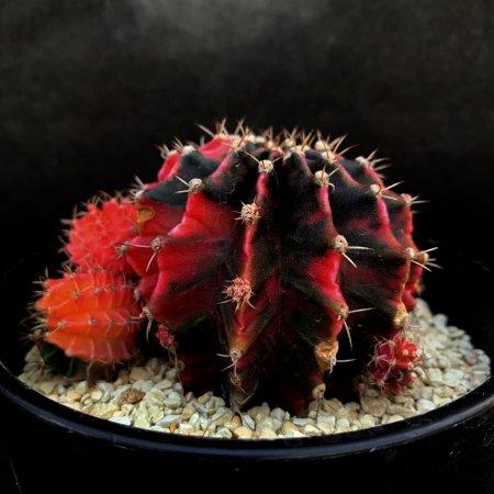 Gymnocalycium friedrichii f. variegata