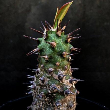 Euphorbia pachypodioides